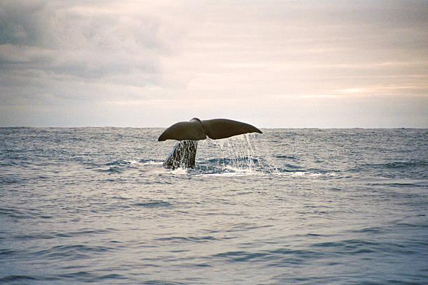 Baleine Fluking - Photo