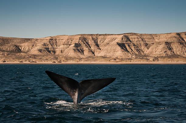 Avistamiento de ballenas en puerto piramides patagonia, argentina - foto de stock
