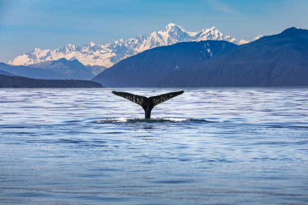Whale in the ocean with scenic alaskan landscape and mountains Whale in the ocean with scenic alaskan landscape and mountains cetacea stock pictures, royalty-free photos & images