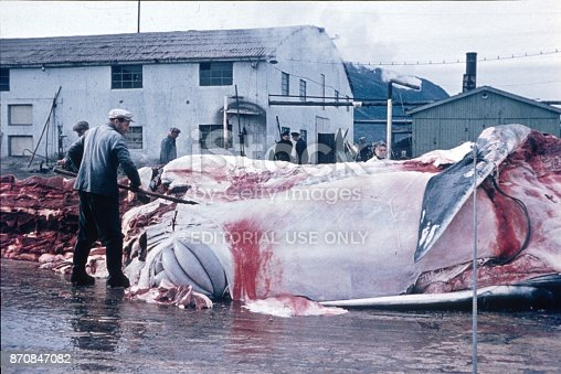Svolvaer, Norway, 1966. Whale fishermen dissect a great whale ashore of fishing town Svolvaer. In Norway, whaling is still allowed today.