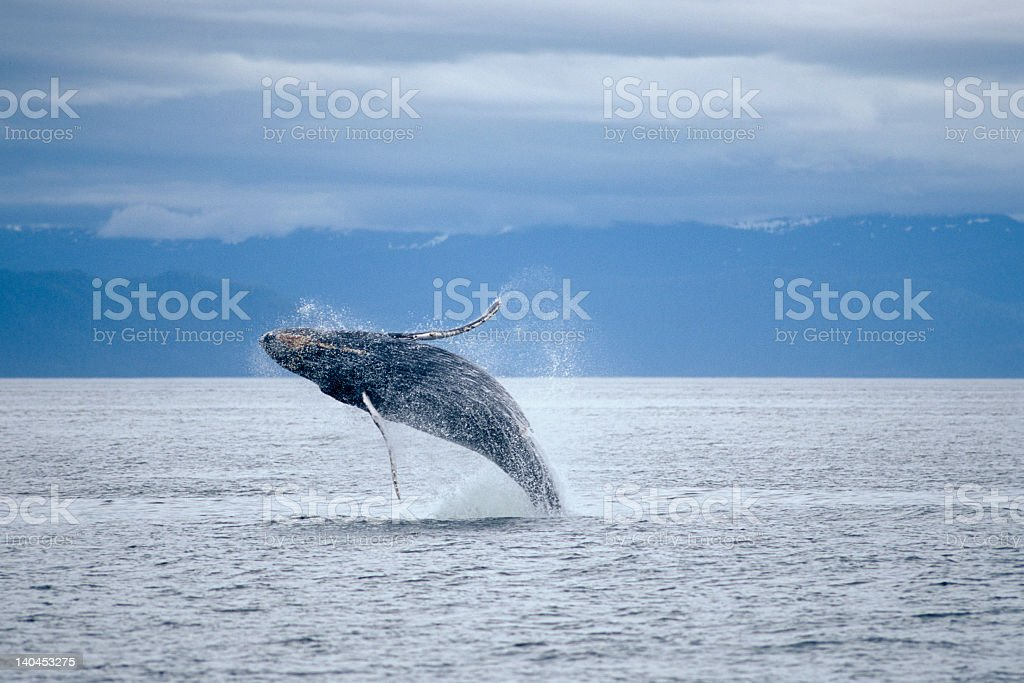 A whale jumping above the ocean stock photo