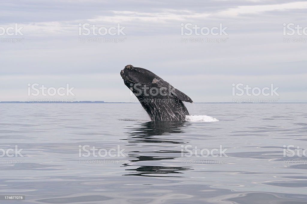 Whale jumping out of water surface stock photo