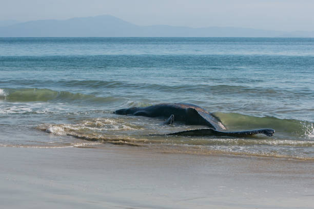 Whale Baleia encalhada na praia aground stock pictures, royalty-free photos & images