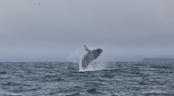 istock whale 855412924