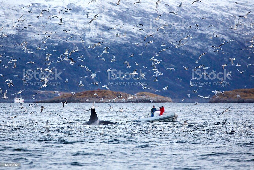 Whale safari on rib boat in the arctic environment stock photo