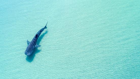 Whale shark aerial.