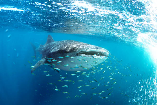 Whale shark (Rhincodon typus) and his little fish friends Snorkeling with a whale shark (Rhincodon typus) at Ningaloo Reef, Exmouth, Western Australia cetacea stock pictures, royalty-free photos & images