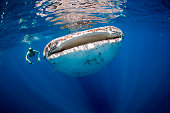 Woman swimming beside a huge whale shark in the clear blue ocean.