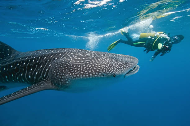 Whale shark and underwater photographer Whale shark and underwater photographer on the blue background whale shark stock pictures, royalty-free photos & images
