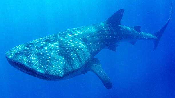Whale shark around Utiila, Honduras Whale shark swimming around Utila, Honduras whale shark stock pictures, royalty-free photos & images