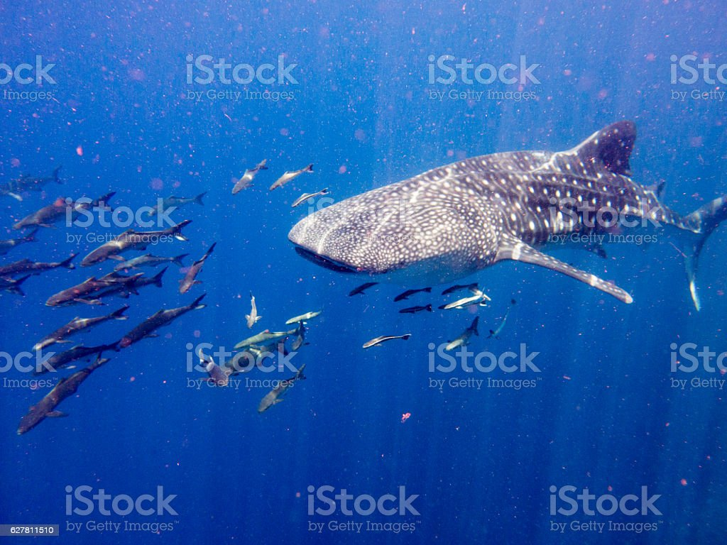 Whale Shark (Rhincodon types) Cobia Wahoo (Rachycentron canadum) Symbiotic Relationship – Foto