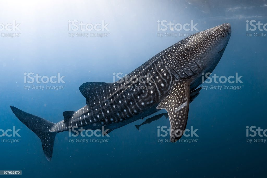 Whale Shark coming to you underwater close up portrait stock photo
