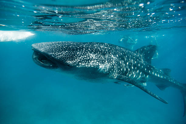 whale shark feeding in oslob - philippines - cebu stockfoto's en -beelden