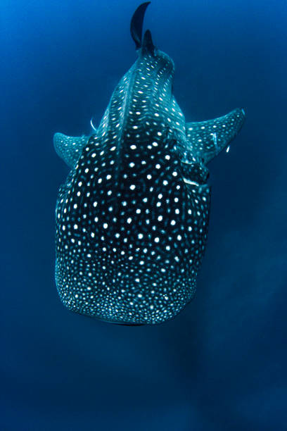 Whale Shark from above in crystal clear deep blue water Showing off the whale sharks amazing spot patterns and sheer size whale shark stock pictures, royalty-free photos & images