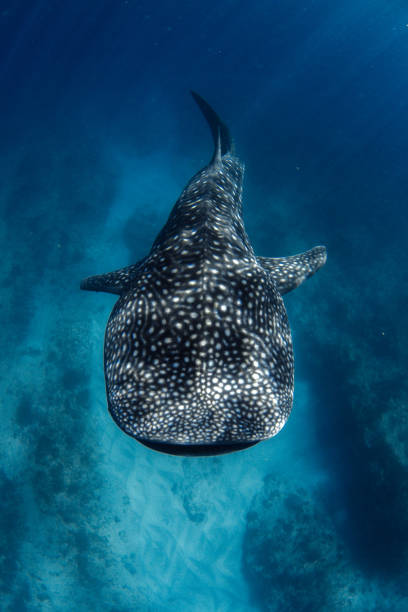 Whale Shark from above in incredible crystal clear water over coral reef Showing off the whale sharks amazing spot patterns this photo was taken at Ningaloo Reef whale shark stock pictures, royalty-free photos & images