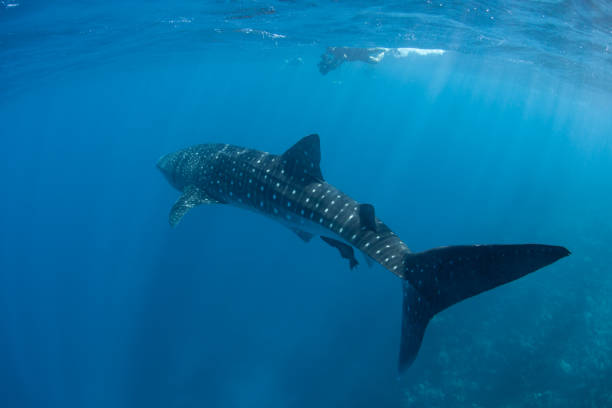 Whale Shark in Blue Water A whale shark (Rhincodon typus) swims through the open ocean searching for plankton. This endangered species originated about 60 million years ago and is the world's largest extant fish. whale shark stock pictures, royalty-free photos & images