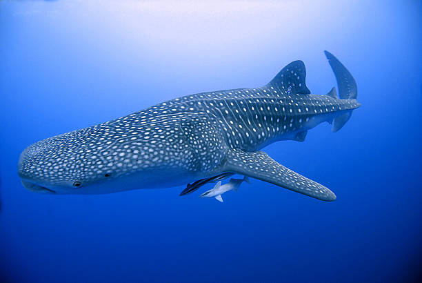 whale shark in Brothers Island, red Sea, Egypt majestic whale shark in Red Sea - Egypt whale shark stock pictures, royalty-free photos & images