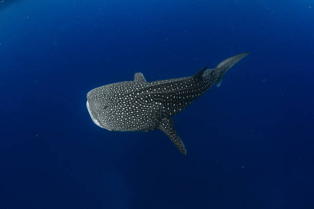 Whale shark in  crystal blue water Showing off the whale sharks amazing spot patterns this is a truly beautiful photo taken in crystal blue water whale shark stock pictures, royalty-free photos & images