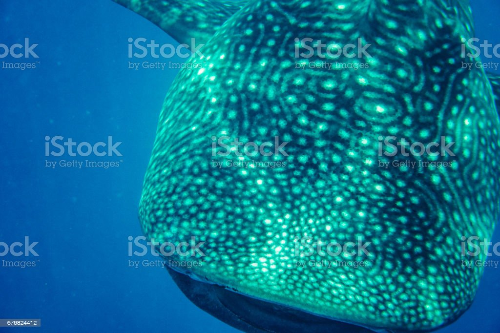 Whale shark near surface stock photo