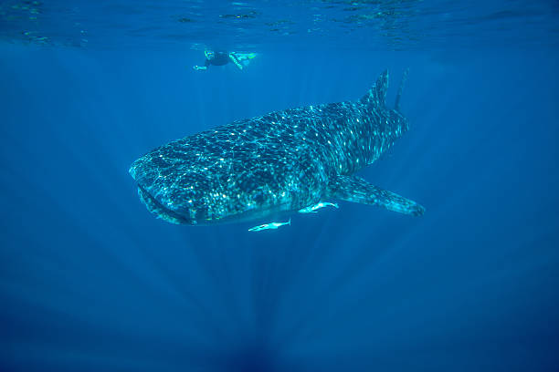 Whale Shark - Ningaloo Reef A stunning image of the worlds largest fish, the
