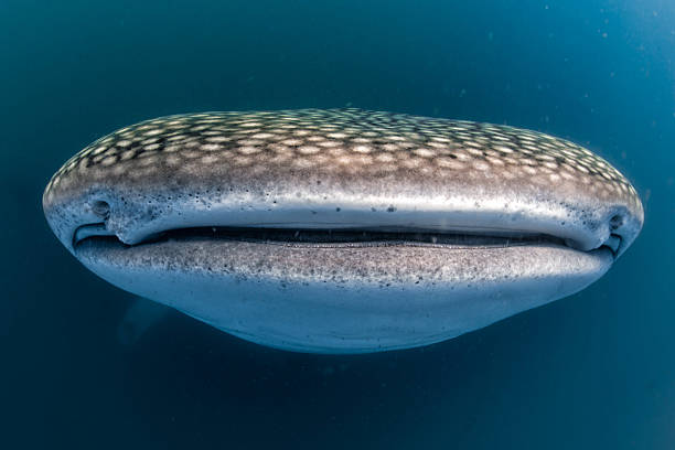 Whale Shark open mouth close up portrait underwater Gentle giant Whale Shark approaching a Photographer underwater in Mexico whale shark stock pictures, royalty-free photos & images