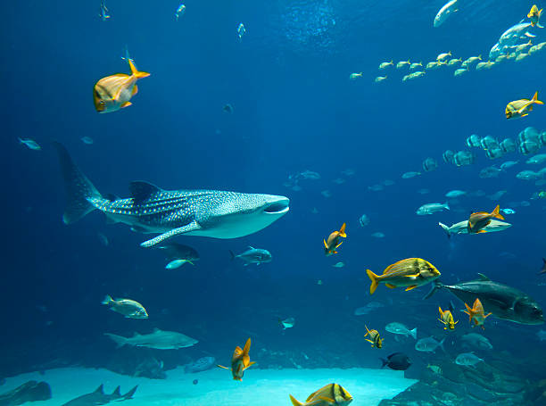 Whale Shark Underwater image of a whale shark and schools of fish whale shark stock pictures, royalty-free photos & images