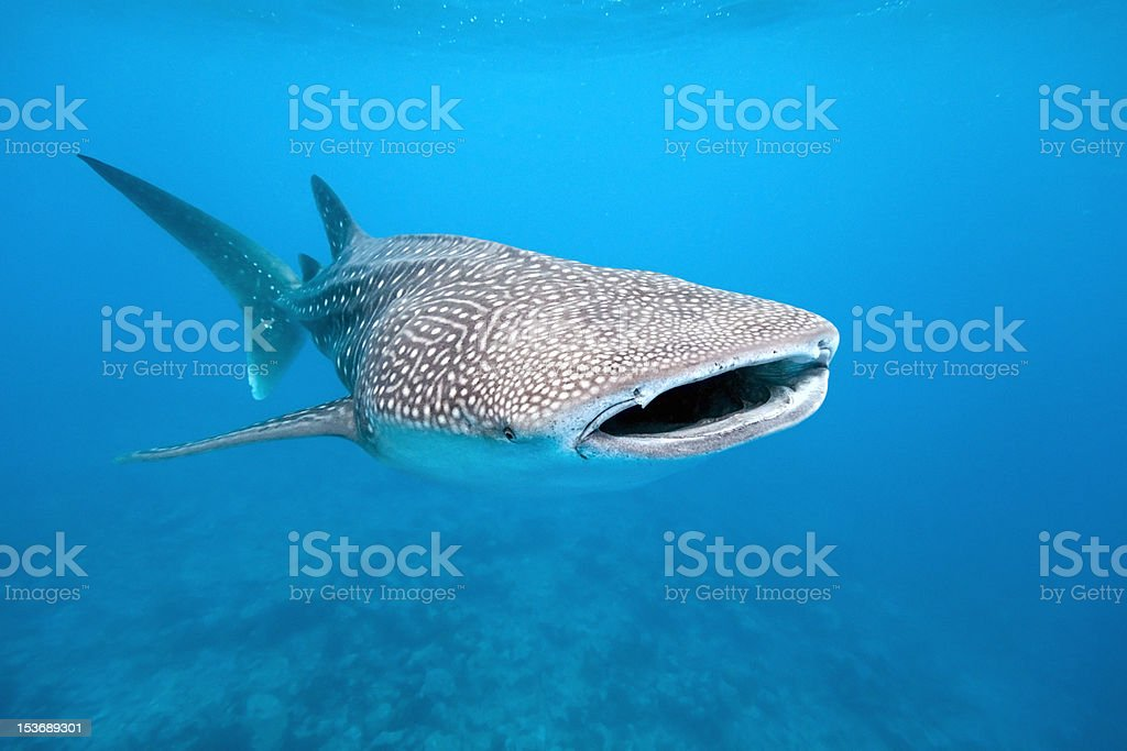 Whale shark Whale shark from maldives Animal Stock Photo