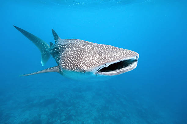 Whale shark Whale shark from maldives whale shark stock pictures, royalty-free photos & images