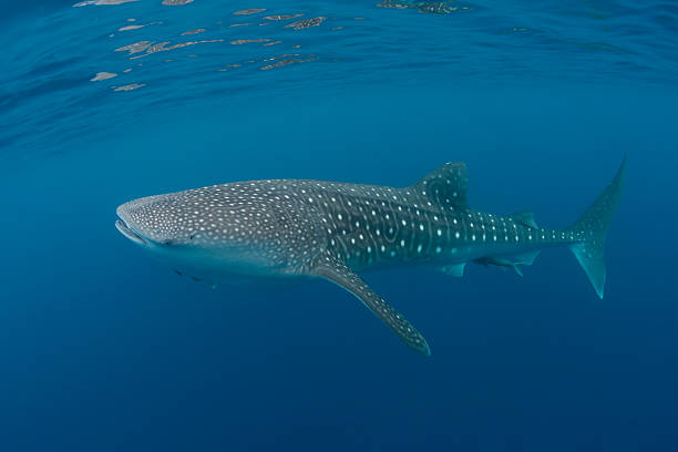 Whale shark A Whale shark at the Silver Banks, Dominican Republic. whale shark stock pictures, royalty-free photos & images