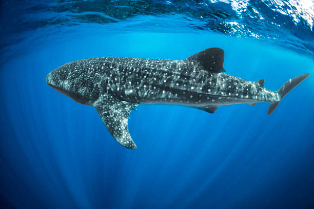 Whale shark Whale shark swimming in the sea. whale shark stock pictures, royalty-free photos & images