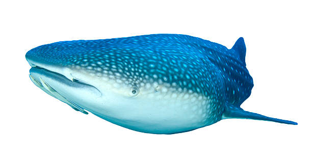 Whale Shark Shark isolated on white background Whale Shark, whe world's largest fish, isolated on white. whale shark stock pictures, royalty-free photos & images