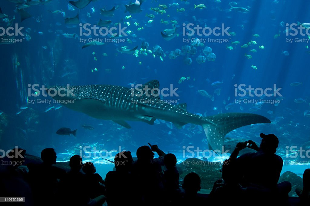 Whale Shark Spectators at The Aquarium stock photo