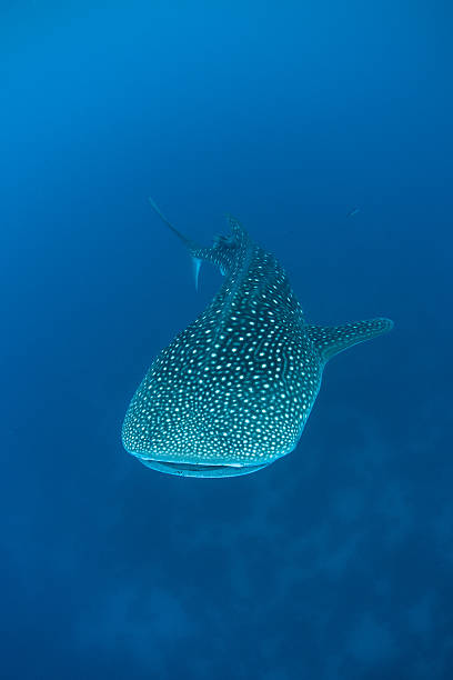 Whale Shark Swimming A giant whale shark (Rhincodon typus) swims in the Caribbean Sea. This large filter-feeding elasmobranch is found worldwide and listed as a