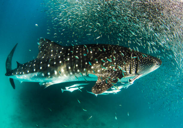 Whale Shark with huge school of bait fish Showing off the whale sharks amazing spot patterns this is a truly beautiful photo taken in crystal blue water with thousands of tiny bait fish adding depth and variety to the photo feeding frenzy stock pictures, royalty-free photos & images