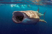 A whale shark with its mouth fully opened to allow maximum feeding with people in the background