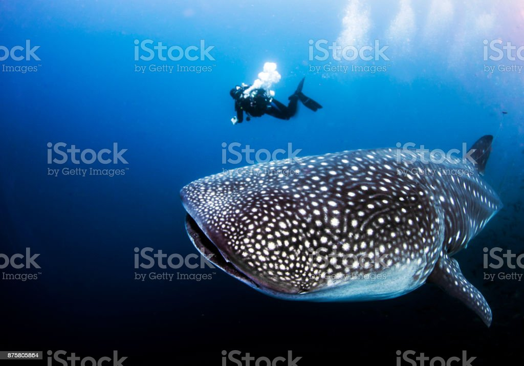 Whale shark with SCUBA diver from Darwin Island in the Galapagos Islands, Ecuador A divemaster can be used as scale to see the size of a pregnant female adult whale shark underwater Galapagos Islands Stock Photo