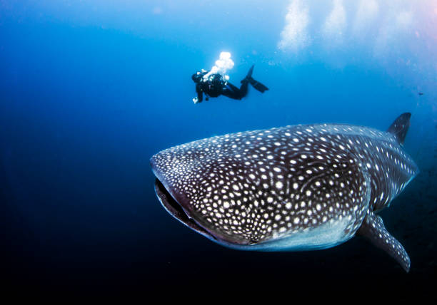 Whale shark with SCUBA diver from Darwin Island in the Galapagos Islands, Ecuador A divemaster can be used as scale to see the size of a pregnant female adult whale shark underwater cetacea stock pictures, royalty-free photos & images