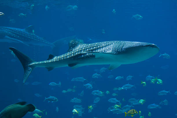 Whale Sharks and lots of fish  whale shark stock pictures, royalty-free photos & images