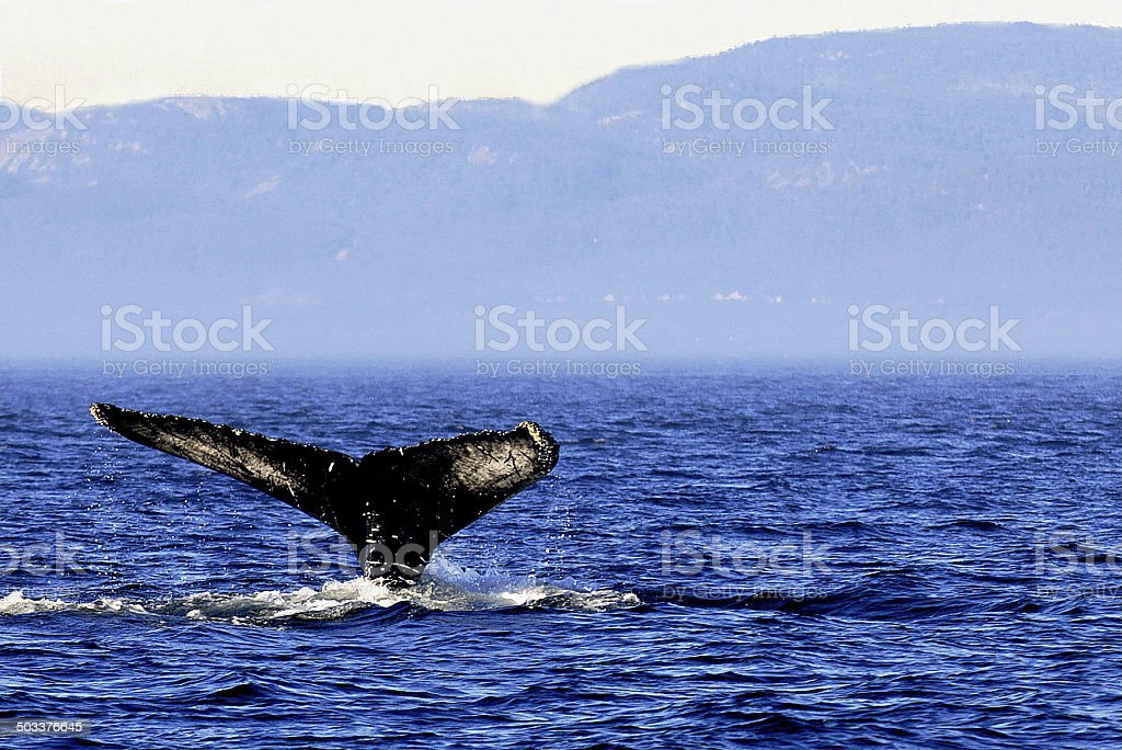 Whale swimming in saint-laurence river stock photo