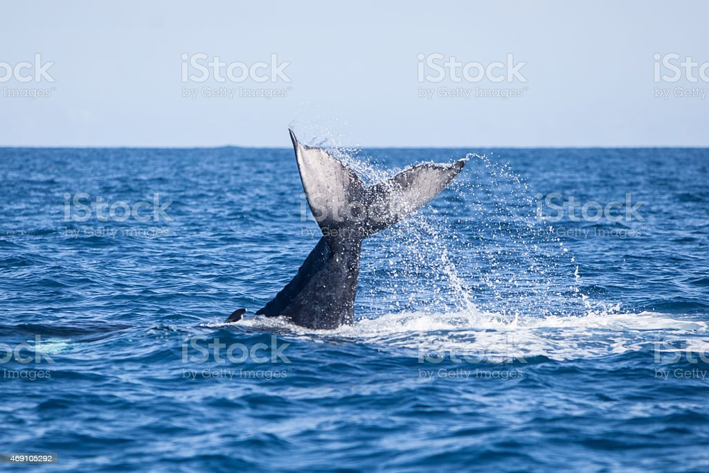 Whale Tail Above Water stock photo