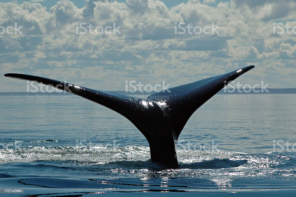 Whale Tail II royalty-free stock photo