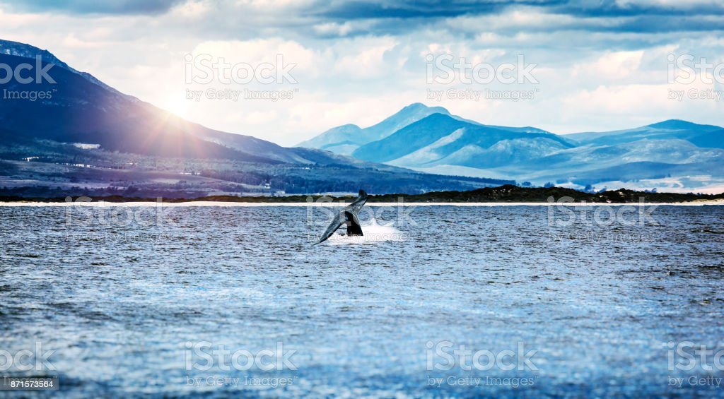 Whale tail in the Atlantic ocean stock photo