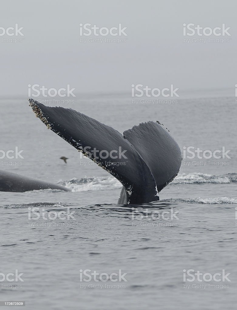 whale tail royalty-free stock photo