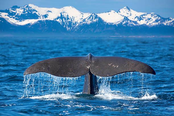Nageoire de baleine - Photo