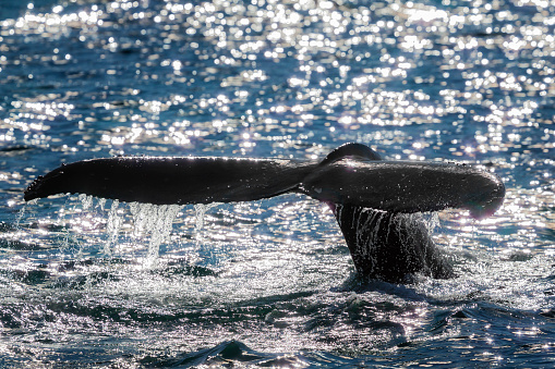 istock Whale Tail 472151763