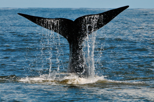 Whale Tail Slapping Hermanus South Africa Stock Photo - Download Image Now