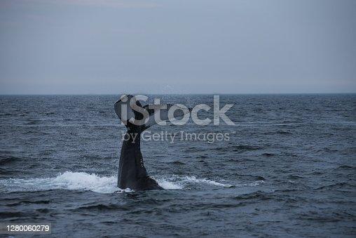 Whale watch. Wild life in Deep Atlantic ocean.