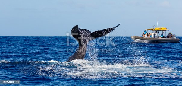 Humpback Whale, Hawaii