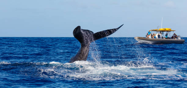 Whale Watching and diving Humpback along the Coast of Hawaii stock photo