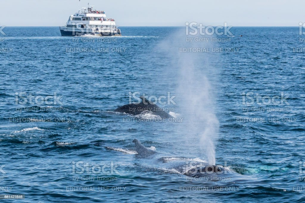 Whale Watching -Blowing of Minke Whale- stock photo